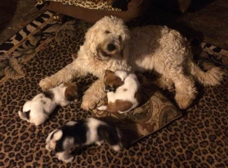 d8849ce9f3 Shorty Jack Russells coming in May - Goldendoodles by Ellie