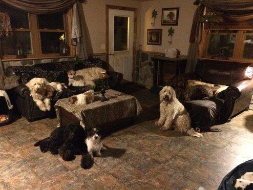 Goldendoodles by Ellie - Ellie's Home